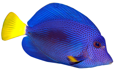 Blue Fish PNG Transparent Image