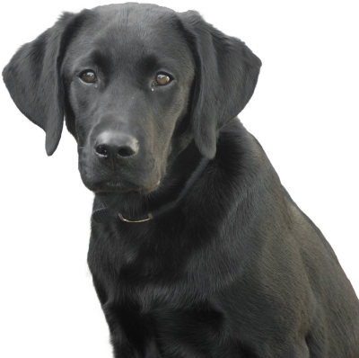 Labrador Black Dog Transparent PNG