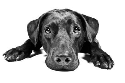 Sad Black Labrador Dog Transparent PNG