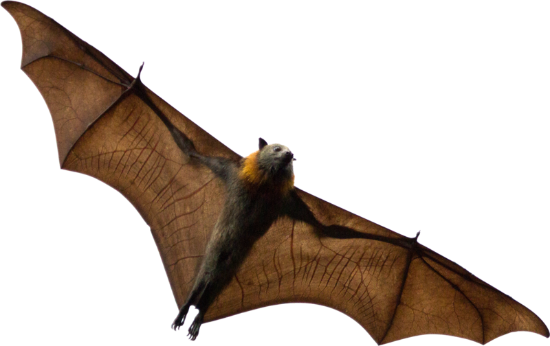 Brown Bat PNG