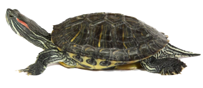 Box Turtle PNG Transparent Image