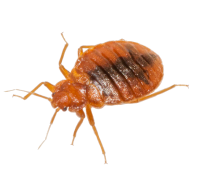 Bed Bug Download Image Download HD PNG