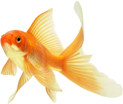 background-Goldfish-transparent