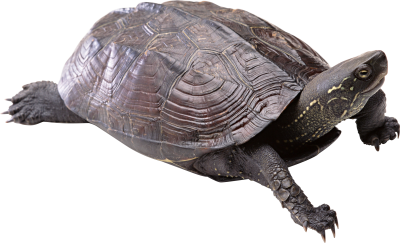 Turtle PNG Free Download