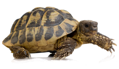 Turtle PNG HD