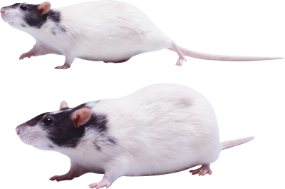 mouse-rat-background-transparent