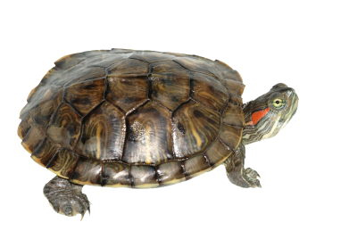 Box Turtle Transparent PNG