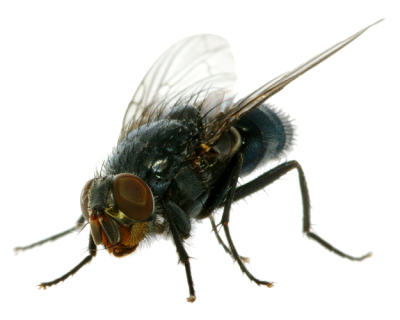 Flies Clipart