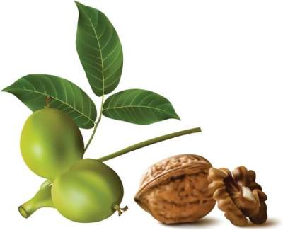realistic-green-walnut-walnut-01-vector_154814