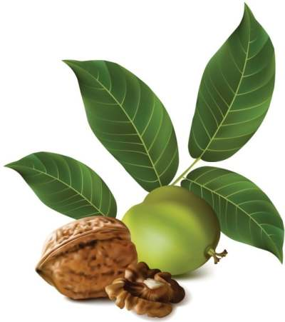 realistic-green-walnut-walnut-02-vector_155868